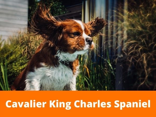 Cavalier King Charles best emotional support dog breed